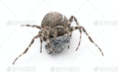 European garden spider, diadem spider, cross spider, or cross orbweaver, Araneus diadematus