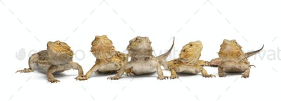 Central Bearded Dragons, Pogona vitticeps, in front of white background