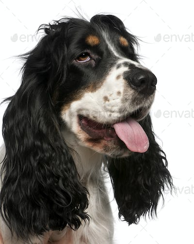 Close-up of English Cocker Spaniel, in front of white background