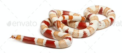 Albinos Honduran milk snake, Lampropeltis triangulum hondurensis, in front of white background