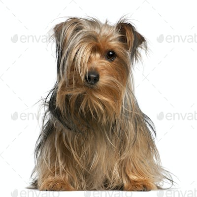 Yorkshire Terrier, 4 years old, sitting in front of white background