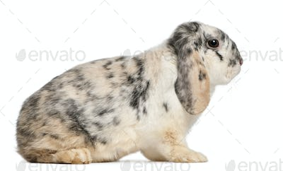 Tri Color Spotted French Lop rabbit, 2 months old, Oryctolagus cuniculus