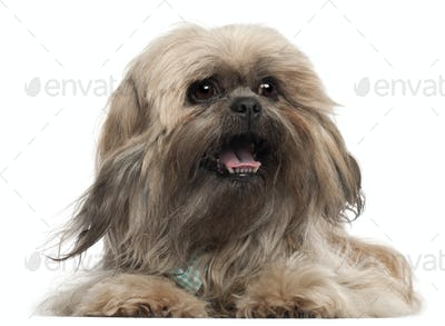 Lhasa Apso wearing a tie and lying in front of white background