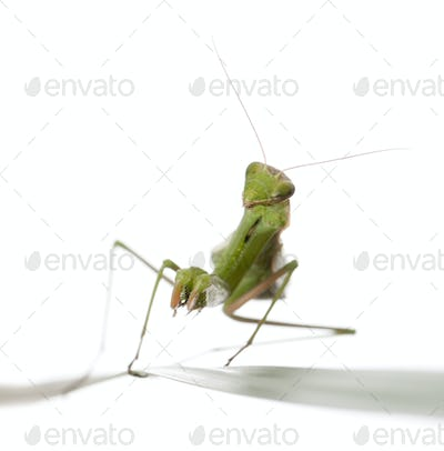 Female European Mantis or Praying Mantis, Mantis religiosa on grass, in front of white background