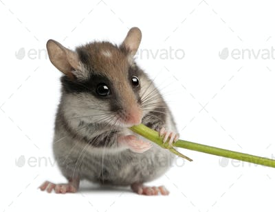 Garden Dormouse, Eliomys quercinus, 2 months old, holding and eating stem