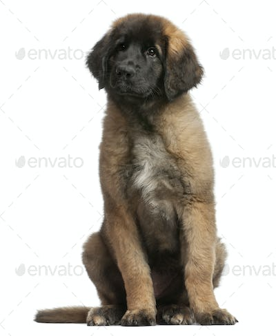young Leonberger, sitting in front of white background