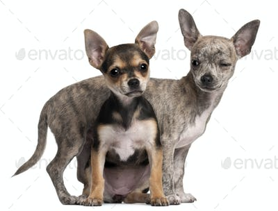 Chihuahua puppy (3 months old), Chihuahua puppy (3 months old)