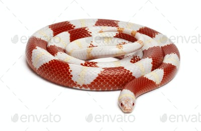 Albinos milk snake or milksnake, Lampropeltis triangulum nelsoni, in front of white background