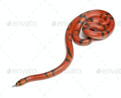 Hypomelanistique Honduran milk snake, Lampropeltis triangulum hondurensis