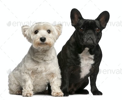 French Bulldog, 6 years old, and West Highland White Terrier, 8 years old