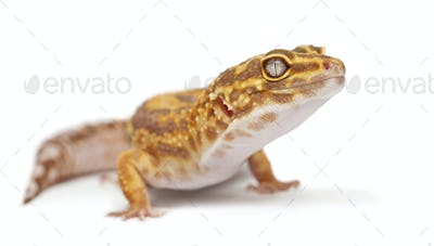 Albino Orange Leopard gecko, Eublepharis macularius, in front of white background