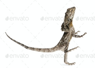 Frill-necked lizard, also known as the frilled lizard, Chlamydosaurus kingii
