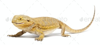 Central Bearded Dragon, Pogona vitticeps, eating a Cockroach in front of white background
