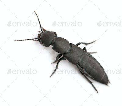 Devil's coach-horse beetle, Ocypus olens, in front of white background