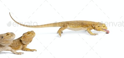 Central Bearded Dragon, Pogona vitticeps, eating a cricket in front of white background