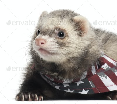Ferret wearing American flag scarf in front of white background