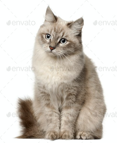 Siberian cat, sitting in front of white background