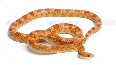 Okeetee albinos Corn Snake, Red Rat Snake,  Pantherophis guttatus, in front of white background