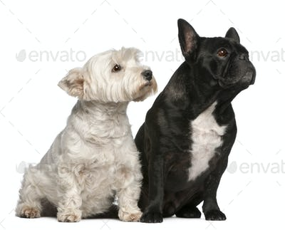 French Bulldog, 6 years old and West Highland White Terrier, 8 years old