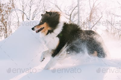 Funny Young Shetland Sheepdog, Sheltie, Collie Fast Running Outd