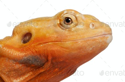 Close-up of Central Bearded Dragon, Pogona vitticeps, in front of white background