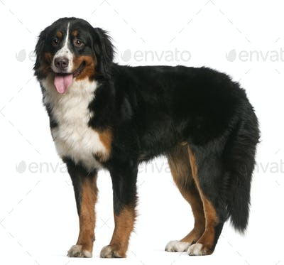 Bernese Mountain Dog, 12 months old, standing and panting in front of white background