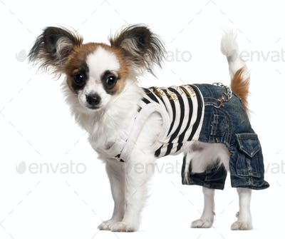 Chihuahua puppy wearing outfit, 6 months old, standing in front of white background