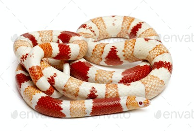 Albinos Honduran milk snake, Lampropeltis triangulum hondurensis, in front of white background