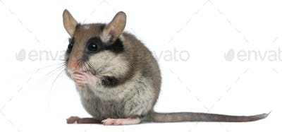 Garden Dormouse, Eliomys quercinus, 2 months old, standing in front of white background