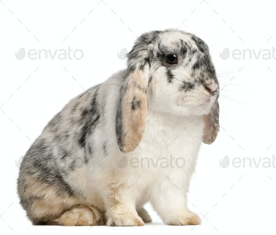 Tri Color Spotted French Lop rabbit, 2 months old, Oryctolagus cuniculus, sitting