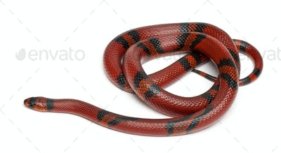 Tangerine Honduran milk snake, Lampropeltis triangulum hondurensis, in front of white background