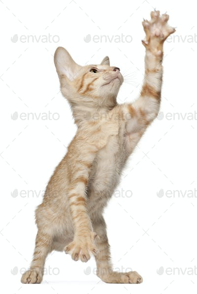 Peterbald cat, standing in front of white background