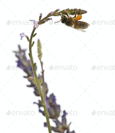 Western honey bee or European honey bee, Apis mellifera