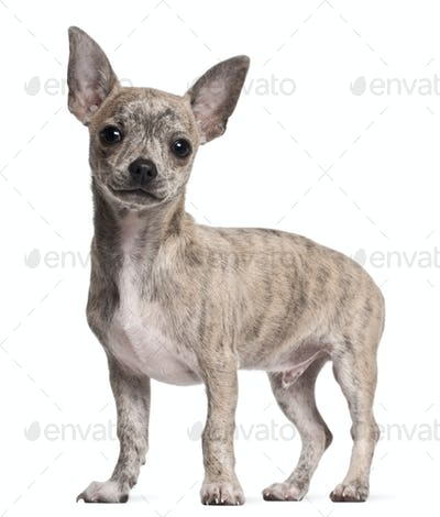 Chihuahua puppy, 3 months old, standing in front of white background