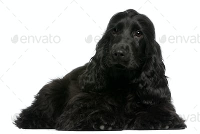English Cocker Spaniel puppy, 5 months old, lying in front of white background