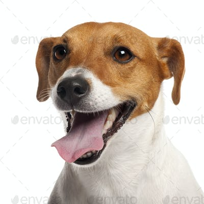 Jack Russell Terrier, 4 years old, close up in front of white background