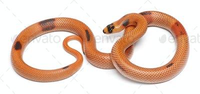 Tricolor sunrise patternless reverse Honduran milk snake, Lampropeltis triangulum hondurensis