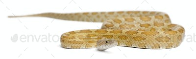 Goldest juvenile Corn Snake, Pantherophis guttatus, in front of white background