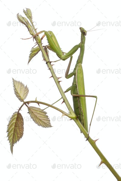 Female European Mantis or Praying Mantis, Mantis religiosa, on a bramble