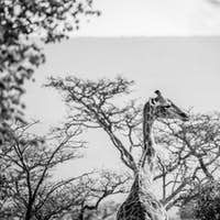 Giraffe standing in the African bush.