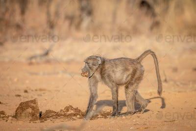 Chacma baboon walking in the bush.
