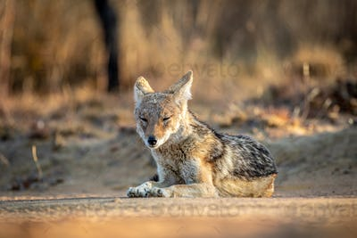 Black-backed jackal laying in the sand.