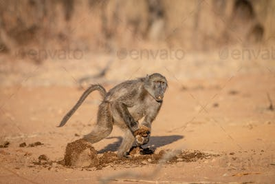 Chacma baboon running away with a block of food.