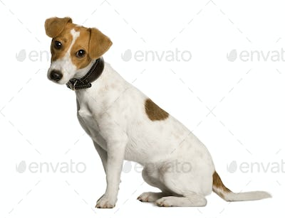 Jack Russell Terrier, 1 year old, sitting in front of white background, studio shot