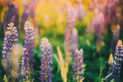 Bush Of Wild Flowers Lupine In Summer Field Meadow. Lupinus, Com