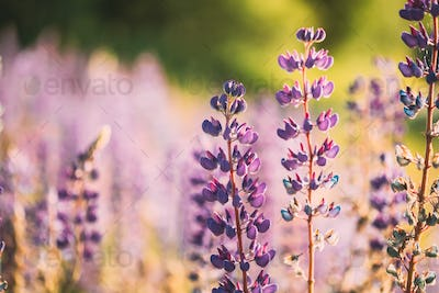 Bush Of Wild Flowers Lupine In Summer Field Meadow At Sunset Sun