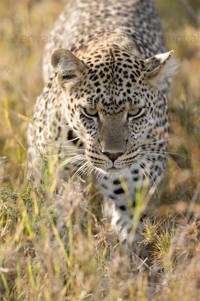 leopard in the african savannah
