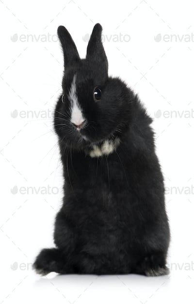 Black baby rabbit sitting in front of white background, studio shot