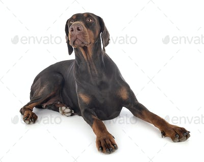 doberman pinscher in studio
