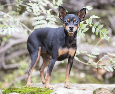 miniature pinscher in nature
